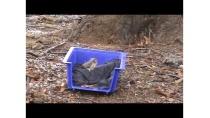 Release of Owlet-Nightjar