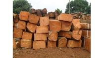 gỗ kiền kiền - cung cấp gỗ kiền kiền ở tại Tp. Đà Nẵng