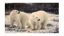 Thế giới động vật - Sát thủ xứ lạnh loài động vật ăn thịt lớn nhất ...