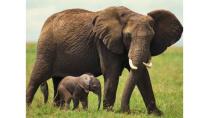 Top 10 loài động vật mang thai lâu nhất thế giới