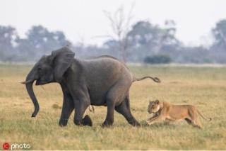 Sư tử lớn mật săn giết con voi ngay trước mặt mẹ